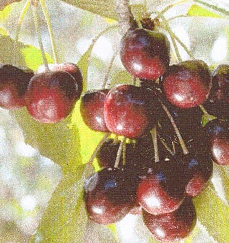 Black Tartarian Cherry Tree , Tree ships 3 to 4 feet tall, 12 inch container by Burchell Nursery