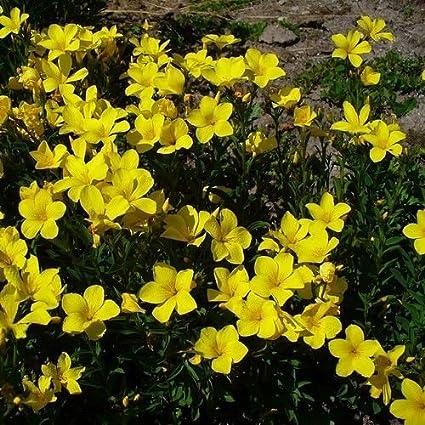 Amazon yellow flax flower seeds linum flavum 50 seeds yellow flax flower seeds linum flavum 50 seeds mightylinksfo