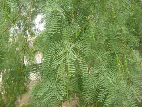 Prosopis glandulosa HONEY MESQUITE TREE SEEDS!