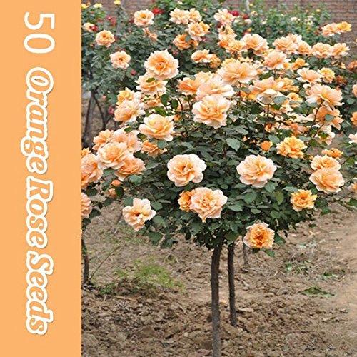 50 Orange Rose Tree Seeds , rare color, gorgeous, pleasant- smelling fragrant