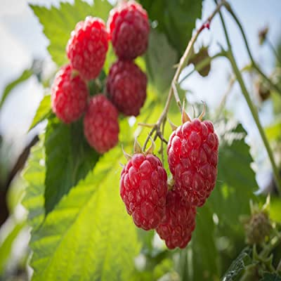 2 Caroline Red - Raspberry Plant - Everbearing - All Natural Grown - Ready for Fall Planting : Garden & Outdoor