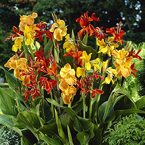 100 Pcs Canna Lily Flowers Seeds Rare Beautiful Colors Bonsai Plants in Garden