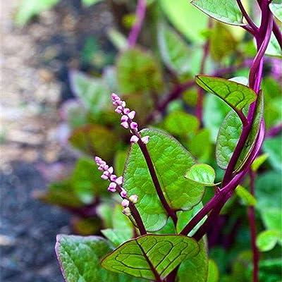 100Pcs Gynura Cusimbua Malabar Spinach Seed Vine Spinach Organic Vegetable Yard Garden Plant : Garden & Outdoor