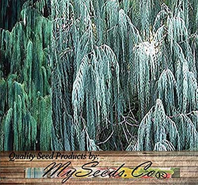 50 x Kashmir Cypress, Cupressus cashmeriana, Tree Seeds - Weeping Fragrant Evergreen - By MySeeds.Co