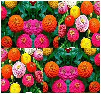 "180 Zinnia Elegans Lilliput 18-24"" Mix Seeds Dome-shaped Zone 3-10 Great Cut Flw"
