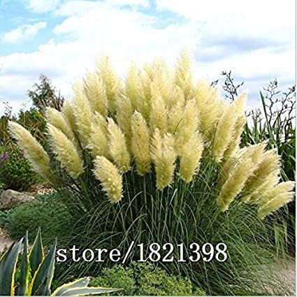 Amazon big sale pretty flowers seed rare purple pampas grass big sale pretty flowers seed rare purple pampas grass garden plant flowers cortaderia selloana flower seeds mightylinksfo