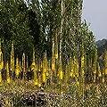 Lioder Seeds- 100 PCS Foxtail Lily Seeds Eremurus Hardy Perennial Ornamental Plant Flowers Garden Home Yard Décor Bonsai