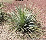 Desert Spoon Aka Dasylirion Wheeleri Live Plant Cactus Plant Fit 05 Gallon Pot