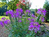 HOT PURPLE SPIDER FLOWER (CLEOME) 30 SEEDS - BOLD BRIGHT COLOR! Comb.S/H