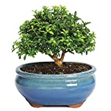 Brussel's Kingsville Boxwood Bonsai - Small - (Outdoor)