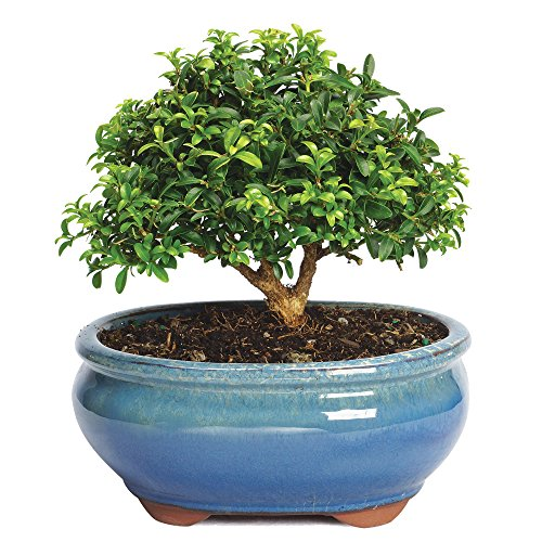 Brussel's Bonsai Small Dwarf Kingsville Boxwood (House Plant Bonsai)