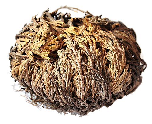 Gracefulvara 2 Pcs Live Resurrection Plant Seeds Rose of Jericho Dinosaur Plant Air Fern Spike Selaginella Moss