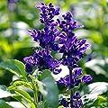 Wintefei 100Pcs Wild Blue Sage Salvia Officinalis Heirloom Herb Seed Garden Decor