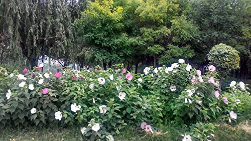 Giant Hibiscus Flower Seeds Garden & Home Perennial Potted Plants Flower Okra Hibiscus Bonsai Grass Seed 50 Pieces / lot