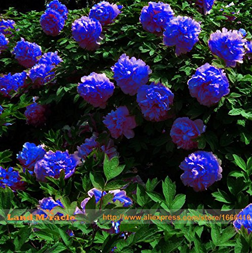Rare Chinese Dark Blue Peony Flower Plant Seedling Seeds, 5Seeds/Pack, Strong Fragrant Beautiful Bush Flower for Balcony Garden (Seed Peony)