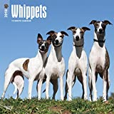 Whippets 2018 12 x 12 Inch Monthly Square Wall Calendar, Animals Dog Breeds (Multilingual Edition)