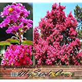 100 x CRAPE MYRTLE MIX Tree Seeds - BLOOMS LAST 120 DAYS - Lagerstroemia indica - Perfect As Shrub Or Small Tree - Zones 6 - 9 - By MySeeds.Co