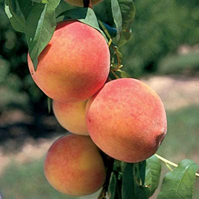 Parade Peach Tree Hardy Healthy Established 1 Gallon Pot 1 Plant #GWS03 : Garden & Outdoor