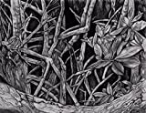 ''Mangrove II'' Drawing by Dawn Rosendahl ~Original Pencil Drawing