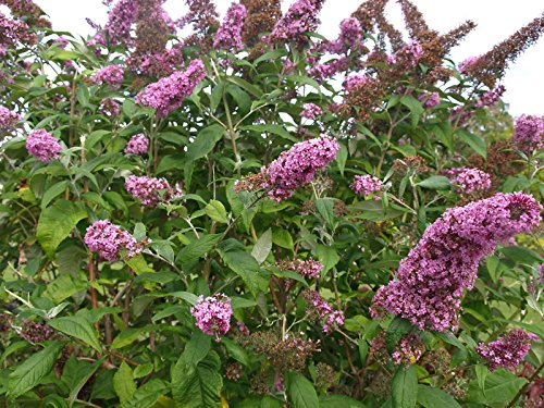 (BUDDLEIA 'PINK DELIGHT' - BUTTERFLY BUSH - FRAGRANT -PLANT - APPROX 12-20 INCH)