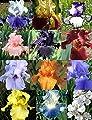 Reblooming Iris Collection 60 Bulbs Mix Colors