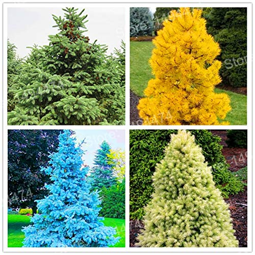 Seedlings Flower Fairly 50pcs Colorful Tree Seedling Spruce Plants Rare Evergreen Colorado Picea Pungens Plante Evergreen Tree Bonsai Plant Plantas HOM (Mix ()