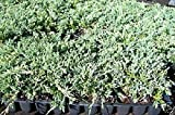 juniper blue rug - Sandys Nursery Online Juniper Blue Rug Ground Cover 1 Tray - 60 plants. Ideal for mass plantings and lining out stock.