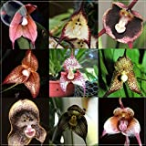 Top Garden Seeds LLC 9 Types Perennial Dracula Simia Monkey Face Flower Seeds, 1 Professional Pack, 100 Seeds / Pack, Rare Orchid Seeds