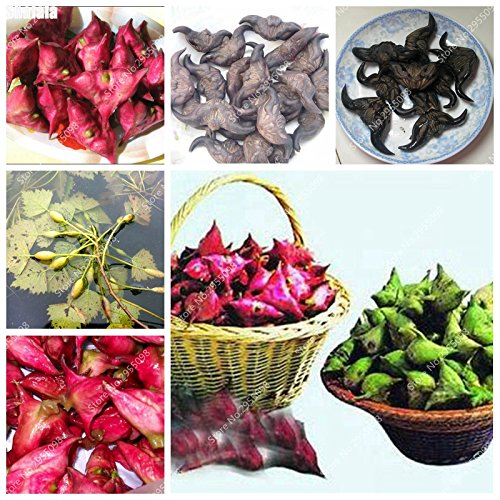 80pcs/ bag Italian Water Chestnut Seeds Outdoor Juicy Nutrien Fruit Bonsai Potted Garden Ornamental Plant for Flower Pot
