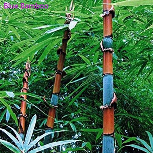 Tree Bamboo Blue (C-Pioneer 300pcs Phyllostachys Pubescens Moso-Bamboo Seeds Garden Plants Black Tinwa Color (Blue Bamboo Seeds))
