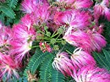 "50 Albizia Julibrissin Var. Rosea ""Silk Tree Mimosa"" Seeds"