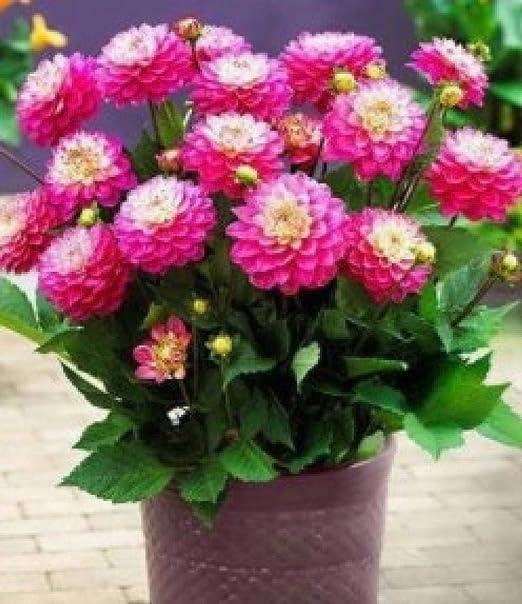 Semillas de Flores Balcones,Paquete de Semillas de Flores Planta de Interior en Maceta Jardín de Flores Semillas de Flores-Dalia,Semillas de Flores Multicolores: Amazon.es: Hogar