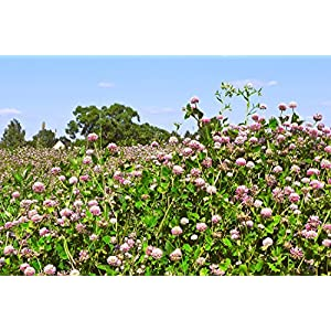 Alsike Clover Seed (10 LBS)
