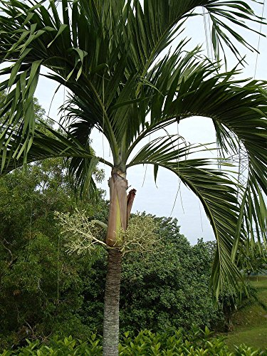Christmas Tree Palm 6 to 10 inches tall (Palm Tree Seedling)