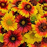 HOT - BLANKETFLOWER Mix - 330 Seeds - Gaillardia aristata - Perennial Flower