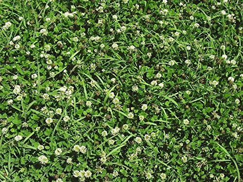 20 LBS WHITE LADINO CLOVER SEED FOR FOOD PLOT COATED AND INOCULATED FRESH SEED