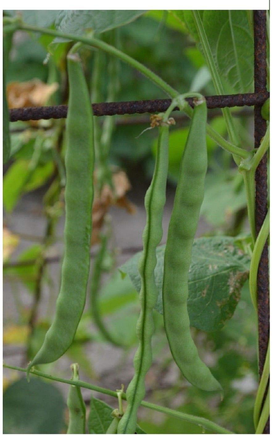 Portal Cool Bush Verde Frijol Semillas Huerto Grano de Princesa ...