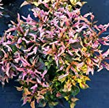 "2 Alternanthera Ficoidea Versicolor~Mini Red Live Starter Plant 4"" Pot An002"