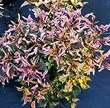 """2 Alternanthera Ficoidea Versicolor~Mini Red Live Starter Plant 4"""" Pot An002"""