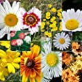 "500 Seeds, Daisy ""Crazy Mixture"" (Seeds By Seed Needs)"