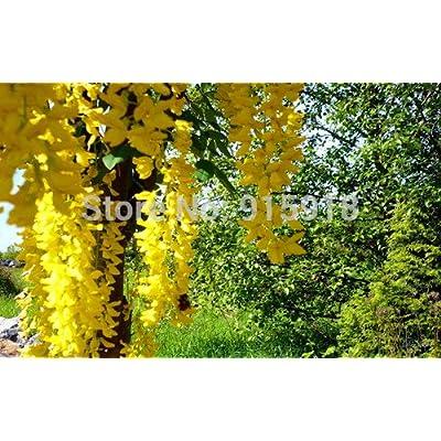 LOSS PROMOTION SALE! Tree Bonsai flower seeds 5 pcs Yellow Wisteria, Rare flower seeds, Home gardening DIY : Garden & Outdoor