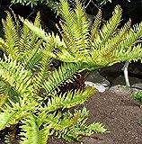 50x Blechnum Tabulare Mountain Blechnum Underground Rhizome Seeds - B799