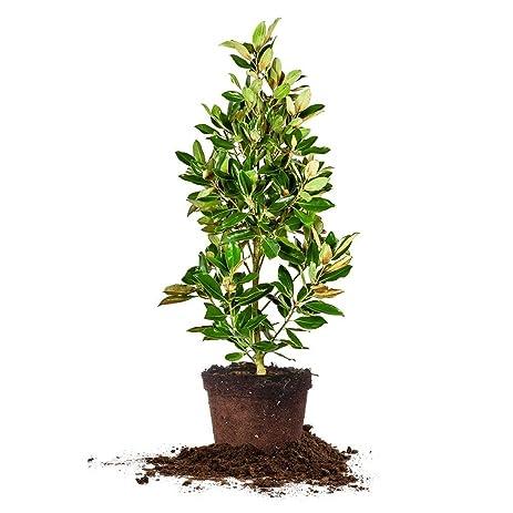 Amazon little gem magnolia size 5 6 ft live plant little gem magnolia size 5 6 ft live plant includes special sciox Gallery