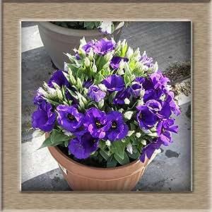 free ship Eustoma Seeds Perennial Flowering Plants Plants Potted Flowers Seeds Lisianthus Seeds - 40 seeds