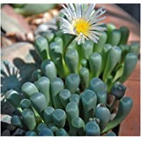 Fenestraria aurantiaca - Planta suculenta - 10 Semillas