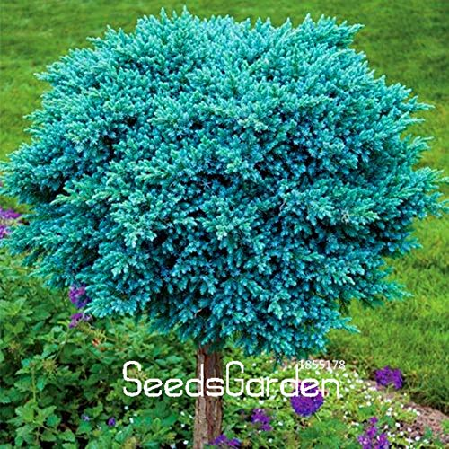 Seed Time-Limit!! 20 Pcs/lot Blue Spruce Landscape Plants Bonsai Tree Plantas Homefor Planting