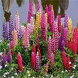 200 Colorful Rainbow Tutti Frutti Lupine Flower Seeds Ornamental flowers 99% Germination