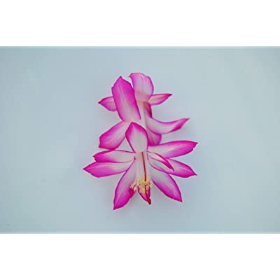 AchmadAnam Cactus Starter Plant ~Joyce Carr~ Schlumbergera : Garden & Outdoor