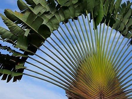 Ravenala madagascariensis Travelers Palm 10 seeds FREE SHIPPING