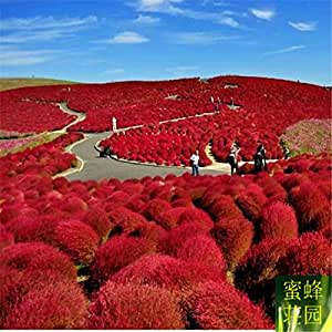 Tree seed red leaves ground skin seeds wheat seed peacock pine broom dishes about 100 seeds